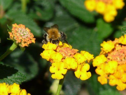 lantana hummel pollination
