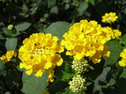 lantana camara yellow flowers