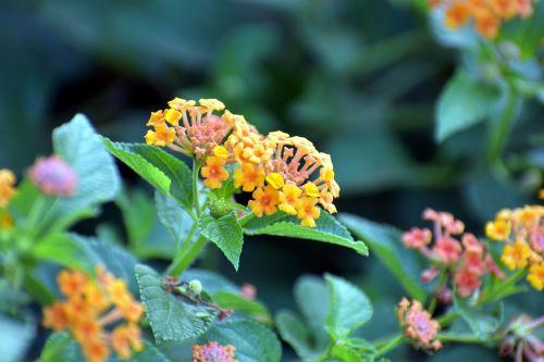 lantana camara red-sage flower tickberry