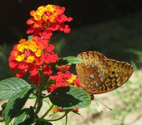 lantana camara flower butterfly