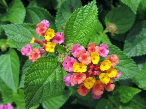 lantana camara flowers big sage