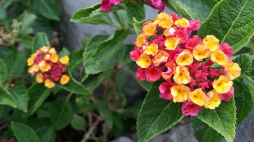 lantana camara mutabilis pink and yellow flowers blooming