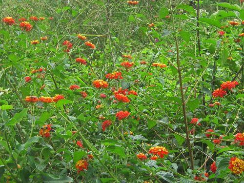 Lantana Shrubs Flowering
