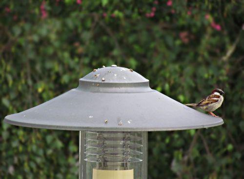 lantern the sparrow bird
