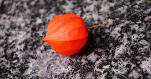 lampionblume physalis alkekengi lantern flower