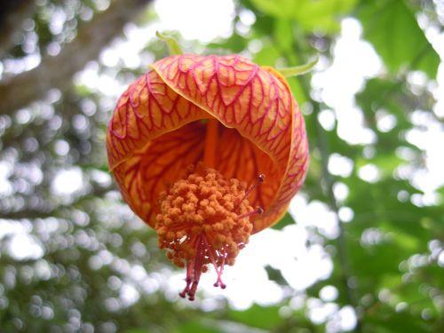 žibinto hibiscus,žibinto gėlė,pistil,pavasaris,keturios žvėrys kalvos,taipei