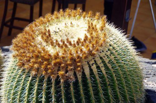 lanzarote cactus quills