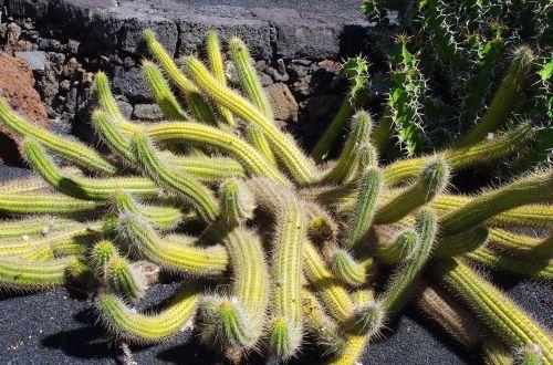 lanzarote cactus garden spice