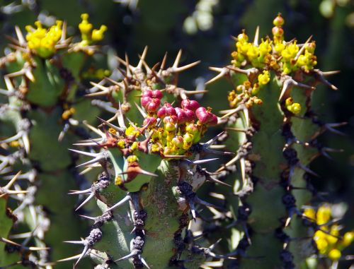 lanzarote,cactus garden,spice,thorns,yellow flowers,garden seeds,botany,exotic,plant,exotic flowers,exotic garden