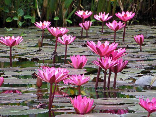 laos lotus pink