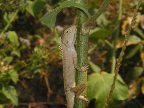 laos animal lizard