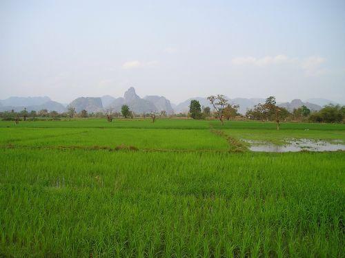 laos rice fields rice