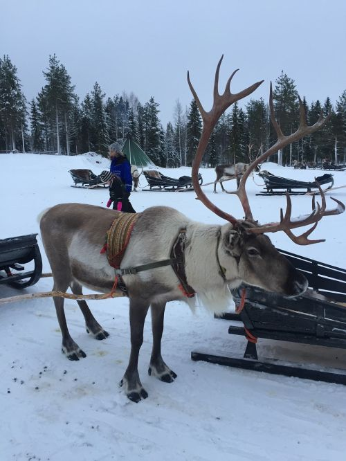 lapland reindeer snow