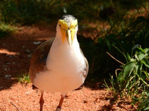 lapwing australian vanellus miles miles peewit