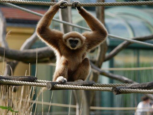 lar gibbon  white handed gibbon  gibbon