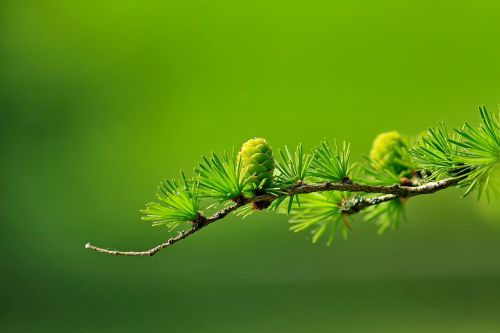 larch conifer cone branch