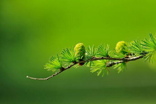 larch conifer cone branch