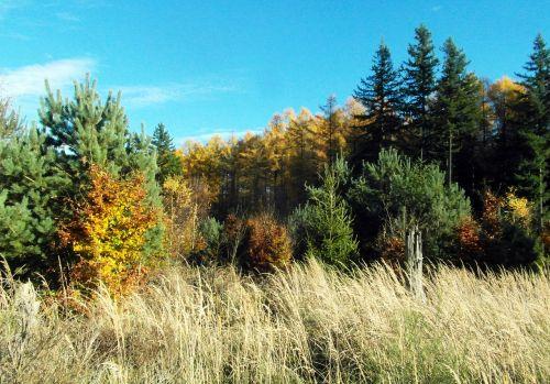larch golden conifer