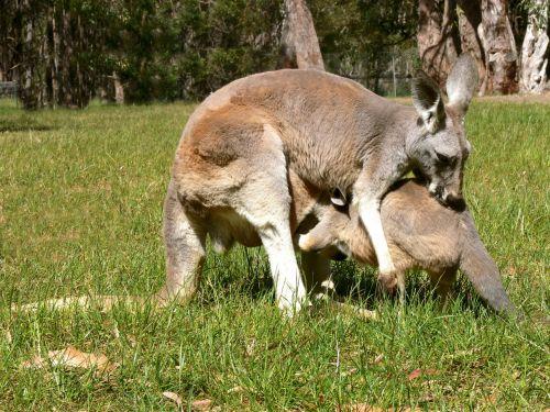 Large Baby Kangaroo