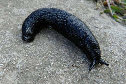 Large Black Slug 1