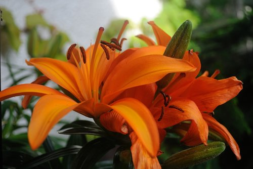 large blooms  orange  flower