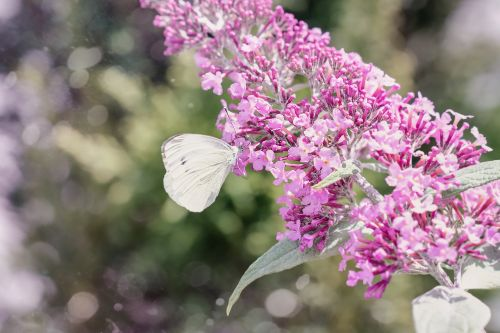 large cabbage white ling pieris brassicae butterfly
