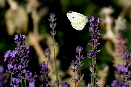 large cabbage white ling  butterfly  insect