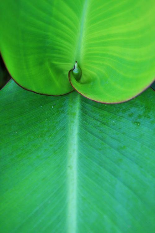 Large Canna Leaves