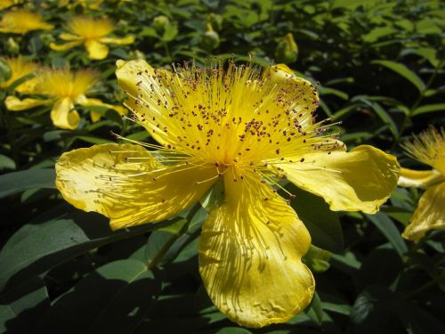 large cup st john's wort flower blossom