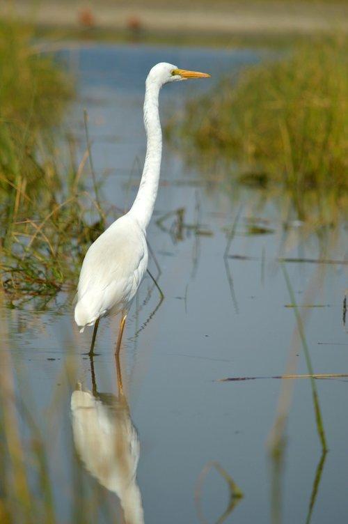 large egret  indian bird  nature