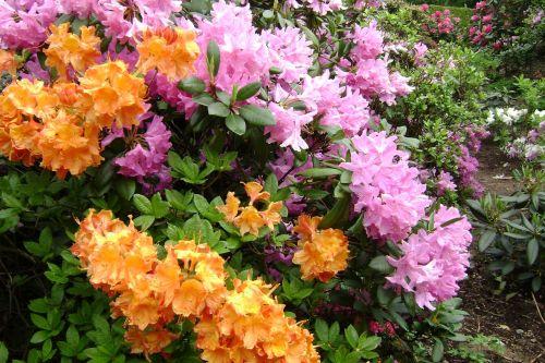 large-flowered azaleas flowers spring