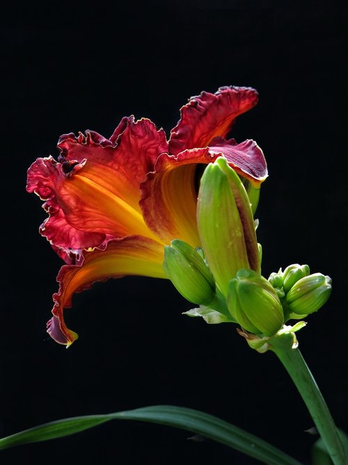 large-flowered daylily  red flower  flower