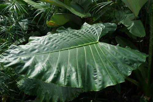 large forest leaf yam taro plant