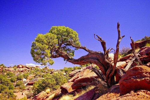 large gnarled utah juniper  juniper  gnarled