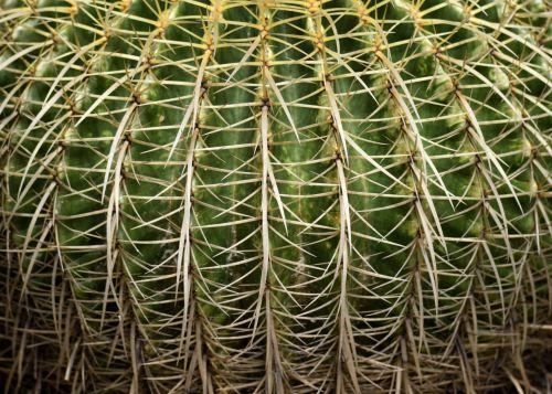 Large Golden Barrel Cactus