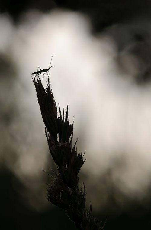 large grass bug megaloceroea recticornis lichtspiel