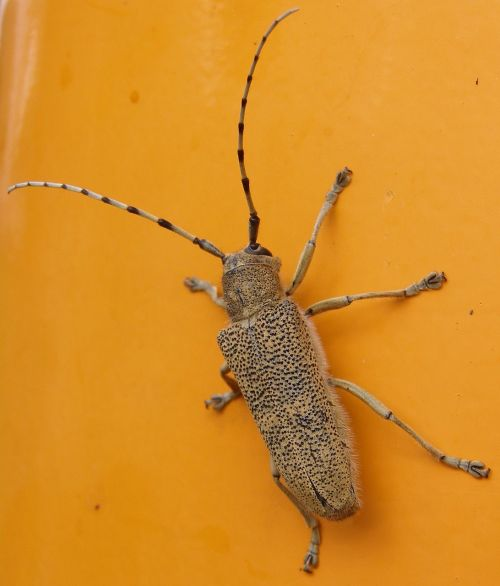large grazing buck insect beetle