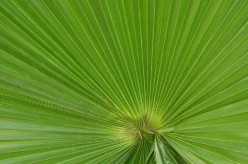 Large Green Fan Palm Leaf