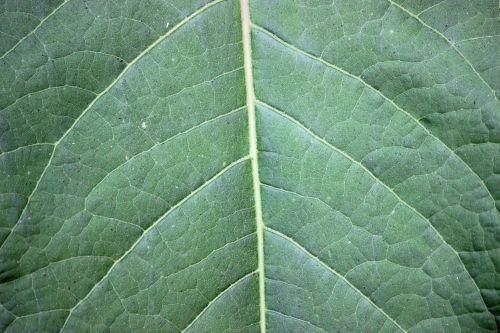 Large Green Leaf