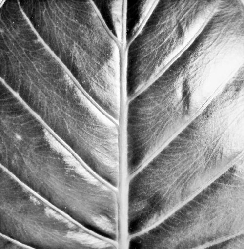 Large Green Leaf With Veining