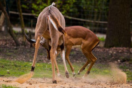 large kudu antelope africa