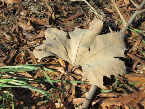 Large Leaf 1