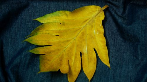 large leaf yellow leaves decorate