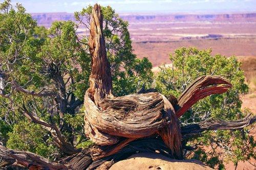 large live gnarled utah juniper  juniper  gnarled