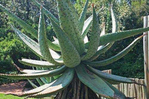 Large Mountain Aloe