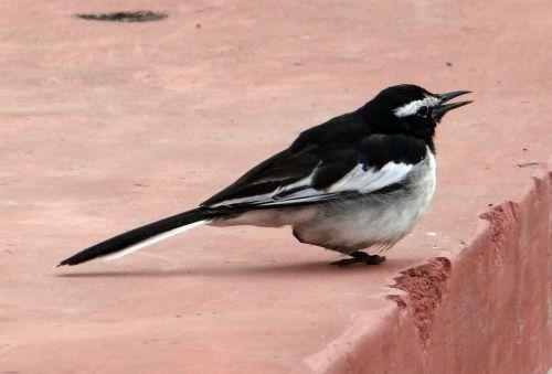 large pied wagtail bird motacilla maderaspatensis