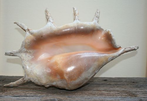 Large Pink Sea Shell With Spines