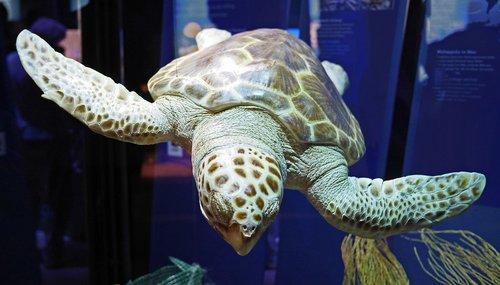 large sea turtle  ozeaneum  stralsund