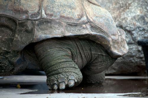 Large Tortoise Leg
