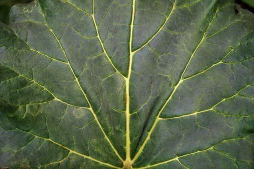 Large Veined Leaf